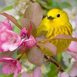Pretty In Pink / Yellow Warbler by Ted Busby: Pink Yellow, Animals, Yellow Warbler, Blossoms Birds, Beautiful Birds, Yellow Birds