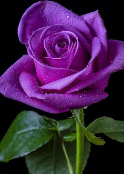 Purple Rose - by Garry Gay: Color, Pretty Flowers, Beautiful Flowers, Pink, Flowers, Garden, Beautiful Rose, Purple Roses