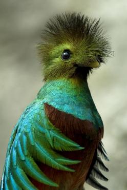 Quetzal. The resplendent quetzal is an aptly named bird that many consider among the world's most beautiful. These vibrantly colored animals live in the mountainous, tropical forests of Central America where they eat fruit, insects, lizards, and other