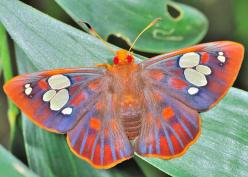 Rare Redeye Flats (Chaetocneme denitza) or Ornate Dusk-flats. They get their common name from the fact that they do, indeed, have big red eyes:: Beautiful Butterflies, Dusk Flat, Flutterby, Rare Redeye, Redeye Flat, Red Eye, Moth, Animal