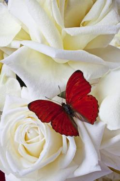 Red butterfly on white roses: Beautiful Butterflies, Butterfly, Nature, White Roses, Red Butterfly, Flutterby, Flowers