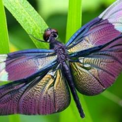 Rhyothemis fuliginosa- yes I know its not a butterfly- but i love dragonflies too: Butterflies Dragonflies, Dragon Flies, Rhyothemis Fuliginosa, Butterflies Moths Dragonflies, Flutterby