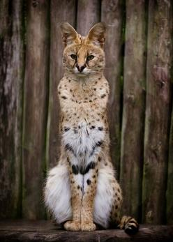 Serval. This African wild cat lives on the savanna. Relative to its body size (2-3 feet,) it is the longest-legged cat in the world. It does not like to climb, but is a very fast runner and agile jumper. The population has been reduced due to killing it f