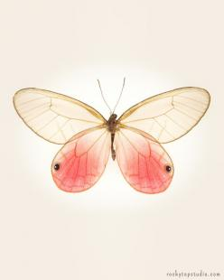 Simple, pretty, elegant. Maybe a good option for scar coverage or nipple replacement? [p-ink.org]: Pink Butterfly, Butterflies, Insect Art, Pink Glasswing, Fine Art, Butterfly Photo, 8X10 Fine
