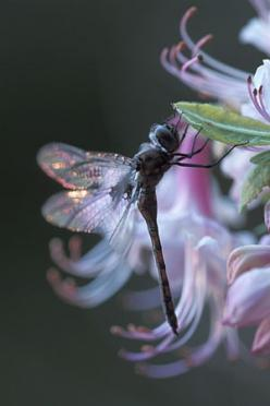 Simply beautiful.: Dragon Flies, Dragonfly S, Photo, Dragonfly Backlit, Dragonflies, Animal