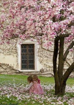 Spring petals. My grandparents have this tree outside their kitchen window. Wonderful memories of climbing it :-): Magnolias, Gardens, Pink, Photo, Spring, Flower, Magnolia Trees