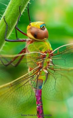 Ssss!...Uhm, I'm Really Amazed By This Place...Samissomar's Pinterests Are So Peaceful !...~ http://samissomarspace.wordpress.com: Butterflies Dragonflies, Dragonfly Closeup, Dragonfly S, Amazing Color, Bugs Insects
