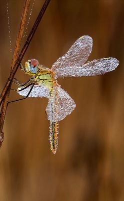 Ssss!...Uhm, This Place Is Really Something...Samissomar's Pinterests Must Be Magical !... http://samissomarspace.wordpress.com: Dragon Flies, Butterflies Moths Dragonflies, Bedewed Dragonfly, Photo, Beautiful Bedewed, Animal