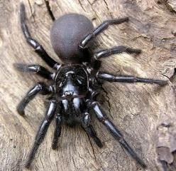Sydney Funnel Web -  This here is the Sydney Funnel Web Spider, and  It is the deadliest spider in Australia, if not, the entire world! /follow me to pinterest.com/litded/: Sydney Funnel Web, Spiders, Australian Spider, Venomous Spider, Poisonous Spider,