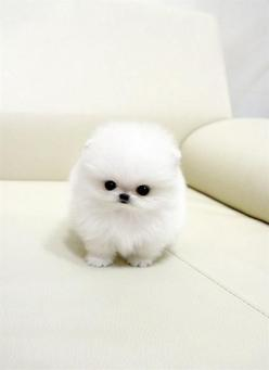 Tea Cup Pomeranian... such spoiled little   things. But, I feel like the lil' cutie pie is looking at me!!! Its so   creepy.: Cute Animal, Teacup Pomeranian, Animals, Dogs, So Cute, Pets, Puppys, Box