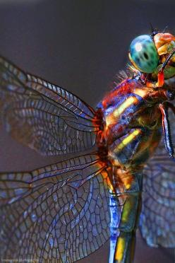 The beautiful dragonfly - fastest insect in the world clocking in at flight speeds of 60 mph. The exact purpose of a dragonfly's iridescent coloring is not determined but may relate to attracting a mate as well as be the by-product of light scatter fr