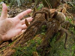 The Goliath bird-eating spider (South America) weighs in at 170 grams and has a leg span of 30 centimeters.: Goliath Birdeater, Animals, American Goliath, Spiders, South American, Puppy Sized Spider, Eating Spider