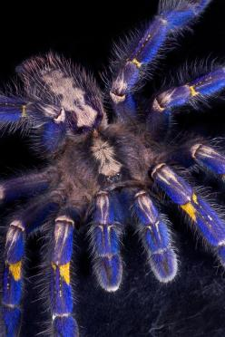 The Gooty Sapphire Ornamental Tree Spider (Poecilotheria metallica) is a critically endangered tarantula found in Southeastern India and Sri Lanka.: Tree Spider, Arachnids Spiders, Metallica Tarantula, Tarantula Dreams, Gooty Sapphire, Engagement Ring, En