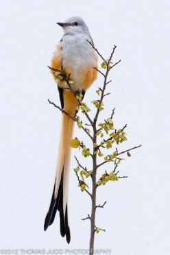 The Scissor-tailed Flycatcher (Tyrannus forficatus), also known as the Texas bird-of-paradise and Swallow-tailed Flycatcher, is a long-tailed insectivorous (insect-eating) bird of the genus Tyrannus. The scissor-tailed flycatcher is found in North and Cen
