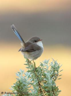 The Superb Fairywren (Malurus cyaneus), also known as the Superb Blue-wren or colloquially as the Blue Wren, is a passerine bird of the family Maluridae, common and familiar across southeastern Australia.: Blue Wren, Cute Bird, Little Birds, Birdie, Creat