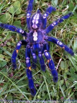 This is called the Gooty Sapphire Ornamental Tree Spider (Poecilotheria metallica) and even its name is all fancy. They're insanely rare, too, only being found in a single location which is severely fragmented. The extent of occurrence is less than 10
