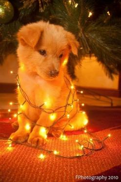 This is cute, but I'm pretty sure my dogs would not sit there like that. They would probably try and eat the lights! Hahaha :): Dogs, Christmas Puppy, Pet, Puppys, Christmas Dog, Christmas Trees, Animal