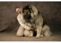This is not me in the pic,but the dog is absolutly gorgeous. Dogs are my passion!: Giant Dogs, Sheepdog Shepherd, Caucasian Ovcharka, Caucasian Shepherd, Dog Breeds, Big Dogs, Animal