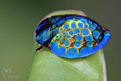 This might be the most glorious insect we've ever seen. Straight out of Brazil, meet the imperial tortoise beetle!: Amazing, Brazil, Google, Nature, Imperial Tortoise, Beetles Tortoise, Tortoises