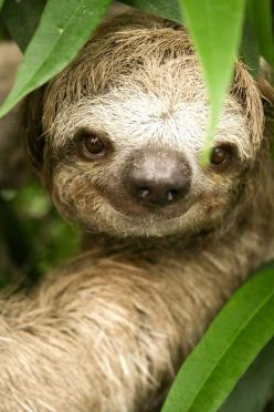 This sloth is smiling because he's been playing hide and seek for two weeks and you just found him!: Baby Sloth, Sloths, Animals, Sloth Smile, Creatures, Smiley Sloth, Things