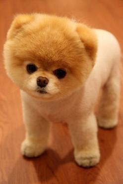 This will be a baby sister soon.... I am hoping to adopt a lil dog in the next year.... This is BOO: The worlds cutest dog. (Its a Pom with a great haircut): Guys Haircuts, Cutest Puppy, Boo Dog, Super Cute Baby Animals, Pomeranian Puppy Boo, Cute Animals