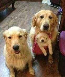 This will be on our Christmas card. | Community Post: 61 Times Golden Retrievers Were So Adorable You Wanted To Cry: Animals, Dogs, Golden Retrievers, Family Photos, Pet, Puppy, Baby, Families