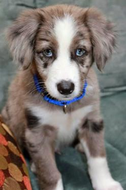 Top 5 Healthiest Dog Breeds: Border Collies, Dogs, Puppy, Australian Shepherd, Animal