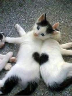 Two kittens make one heart.      (KO) Angelic kitties. Don't be fooled! Naughtiness dressed up in furry clothes! Precious though. At times. Mostly naughty.: Cats, Animals, Sweet, Heart, So Cute, Pet, Kittens, Valentine, Kitty
