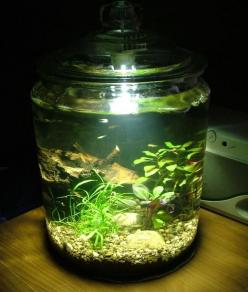 water garden in a cookie jar......or fish tank!!!: Plants In Jars, Water Gardens, House Plants Ideas, Fish Tanks, Fishtanks, Aquarium, Gardening, Cookie Jars