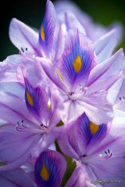 ~~Water Hyacinth by Jeffrey Favero~~: Peacock Feathers, Flowers 4, Color, Water Hyacinth, Flowers Plants, Blomster Flowers, Beautiful Flowers, Fleurs Flores Flowers, Flowers Others