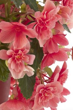 Waterfall Begonia 'Victoria Pink': Google, Waterfalls, Nature, Beautiful Flowers, Victoria Pink, Flowers, Waterfall Begonia, Garden, Begonia Victoria