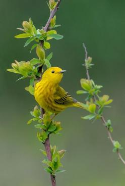 ~~Yellow Warbler by Wes Aslin~~: Animals, Nature, Wings, Wes Aslin, Yellow Warbler, Beautiful Birds, Bird Watching