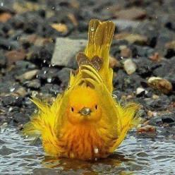 yellow warbler in bath: Animals, Nature, Yellow Warbler, Beautiful Birds, Photo, Yellow Birds, Bath Time