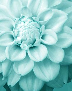 Yes, I know it's just a pretty flower, but sometimes I want my whole life in this color.  (It's not all going to be snarky.): Beautiful Flower, Colour, Turquoise, Colors, Tiffany Blue, Blue Flower, Aqua, Flowers, Color Palette