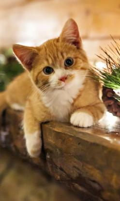 """An inquisitive little kitten is the best reminder of what youth is all about."" --Jo Kittinger: Kitty Cat, Orange Cat, Ginger Kitten, Kittycat, White Cat"