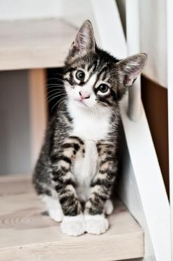 """An ordinary kitten will ask more questions than any 5 year old."" --Carl Van Vechten: Kitty Cats, Cute Cats, Kitty Kitty, Adorable Kitten, Cats Kittens, Animal"