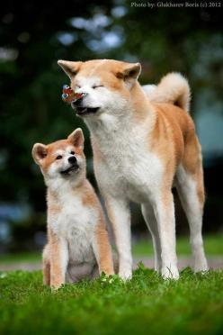 Akita Inu...I'm going to have an explosion of overload cuteness!!!. #dog #puppy #akita_inu Read More -->: Japanese Dog, Coolpetz Dog, Akita Dogs, Akita Family, Dogs Japanese, Akita I D, Cute Dogs, Fun Dogs