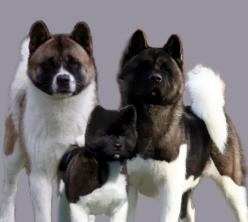 Akitas...gorgeous, beautiful, regal...: Amazing Akitas, Akita Empire, Akita Dogs, Akita Inu, Slo318 Akitas, American Akitas, Akitas Gorgeous, Almighty Akitas