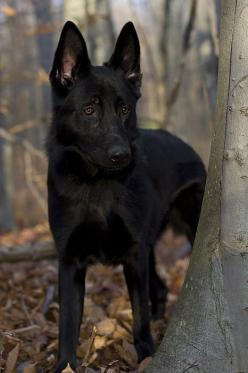 Black German Shepherd Photograph by Megan Noble - Black German Shepherd Fine Art Prints and Posters for Sale: Germanshepherd, Black German Shepherds, Black Dogs, Black German Shepherd Puppies, German Shepherd Black, Black Shepherd, Black German Shepard, G