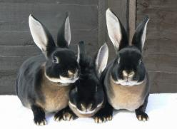 Black Otter Rex rabbits: Rex Rabbits, Rex Bunnies, Black Rabbits, Black Bunnies, Otter Rex, Gorgeous Bunnies, Black Otter