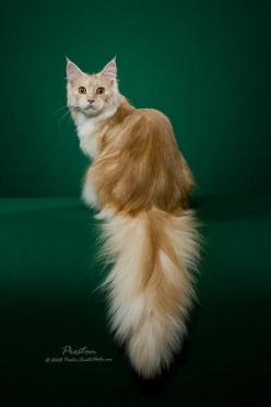 Cameo Maine Coon Cat - the gentle giant- reminds me of my old cat.. Looks just like my Cameo Cloud: Cats Cats, Kitty Cats, Maine Coons, Beautiful Cats, Maine Coon Cats, Cats Kittens, Cats Maine, Baby Cat
