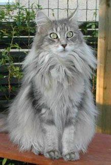 Classic blue tabby Maine coon.  My adopted cat, Yankee Blue Clipper Ship.  I didn't name him, obviously.: Maine Coons, Coon Colors, Bluetabby Classic, Classic Blue, Mainecoon Blue, Grey Maine Coon Cats, Blue Maine, Classic Cats