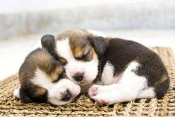 Cute Pictures Of Beagle Puppies...find more fun dog pics at fundogpics.com: Adorable Doggies, Adorable Beagle, Adorable Animals, Beagle Puppies, Puppys Dogs, Dogs Pets, Animals Kindness, Dogs Beagles