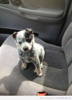 cutestuffdotco: (via 12 Adorable Puppies On The Way To Their New Homes): Blue Healer, Cute Puppies, Little Puppies, Blue Heelers, Blue Heeler Dog, Australian Cattle Dog, Puppy, Cattle Dogs, Heeler Pup