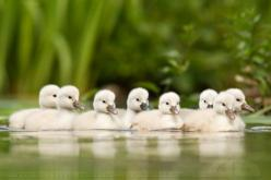 family   -   What greater blessing to give thanks for at a family gathering than the family and the gathering.  ~Robert Brault, www.robertbrault.com: God, Baby Ducks, Baby Animals, Roeselien Raimond, Adorable Animal, Ugly Ducklings