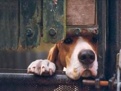great shot. I see this face quite a lot in my dog =): Hound Dog, Bassett Hounds,  Basset Hound, Peek A Boos, Amazing Animal, Peekaboo, Bassethound