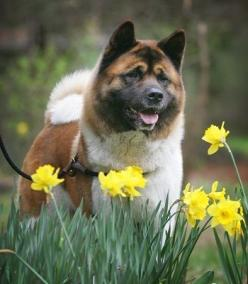 "I love these dogs! I still remember my first Akita when I was a young girl. His name was ""Judge"".: Amazing Akitas, Akita Dog, Akita Beautiful, Slo318 Akitas, Animals Akitas, Favorite Dogs"