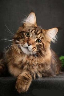 Maine coon: Maine Coons, Kitty Cats, Beautiful Cats, Maine Coon Cats, Maine Coon Kittens, Kitty Kitty, Animals Cats, Cats Kittens, Mainecoon