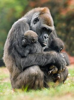 Mama Gorilla  and Her New Twins:  Gorilla Gorilla, Monkeys Gorillas, Mother S, Gorilla Family, Gorilla Holding, Mother Gorilla, Holding Twins, Animal