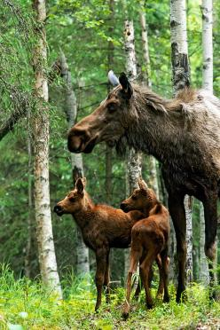 Moose twins and their mother...and to think some poor excuse for a human being takes pleasure in shooting them...tragic.: God S Creatures, Wild Life, Wild Animals, Moose Mother, Twin Calves, Moose Calves, Baby Animals
